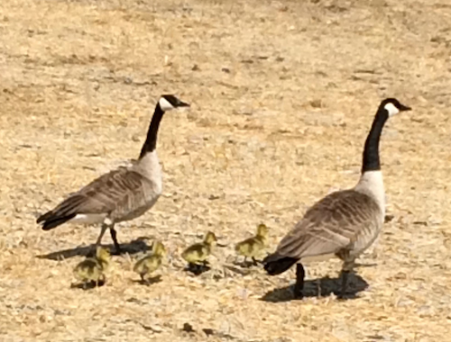 photo of a family of geese
